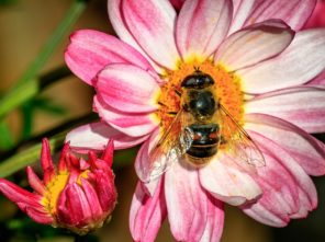 abeille_fleur_miel